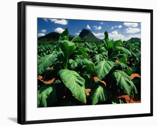 Tobacco Plants with Mountains Behind., Glass House Mountains, Queensland, Australia-John Banagan-Framed Photographic Print