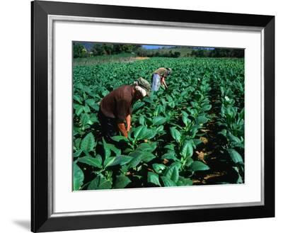 Tobacco Workers, Vinales, Pinar Del Rio, Cuba-Shannon Nace-Framed Photographic Print