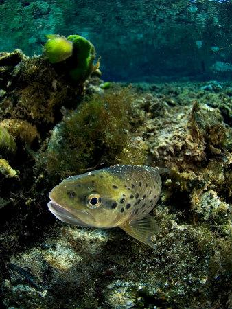 Brown Trout, New Zealand