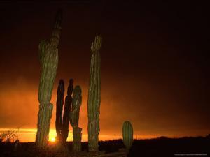 Cordon Cacti, Panorama, Mexico by Tobias Bernhard