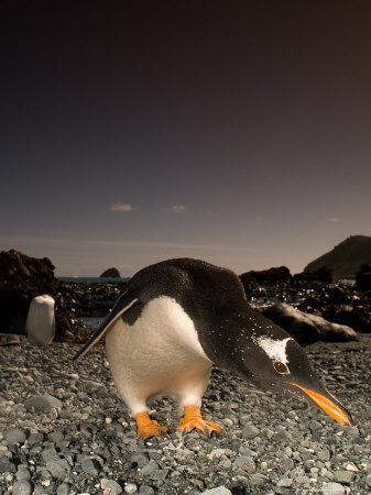 Gentoo Penguin, Bending Over, Sub Antarctic
