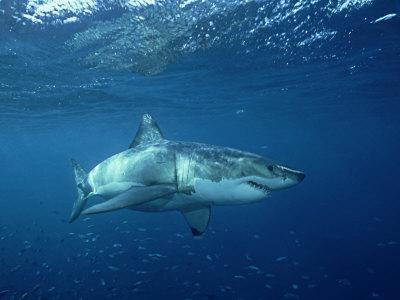 Great White Shark, Australia