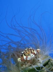 Swimmer Crab, Sheltering in Anemone, Tonga by Tobias Bernhard