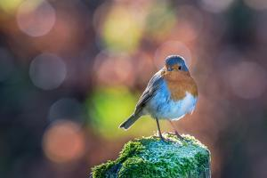 Robin Standing on an Ice Covered Mossy Post with Bright Circular Bokeh by Toby Gibson