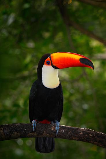 Toco Toucan, Big Bird with Orange Bill, in the Nature Habitat, Pantanal, Brazil. Orange Beak Toucan-Ondrej Prosicky-Photographic Print