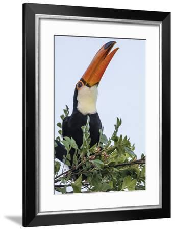Toco Toucan (Ramphastos Toco), Feeding Within Iguazu Falls National Park, Misiones, Argentina-Michael Nolan-Framed Photographic Print