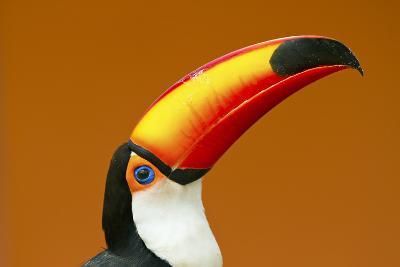 Toco Toucan (Ramphastos Toco) Head And Beak Profile Portrait, Brazil-Angelo Gandolfi-Photographic Print