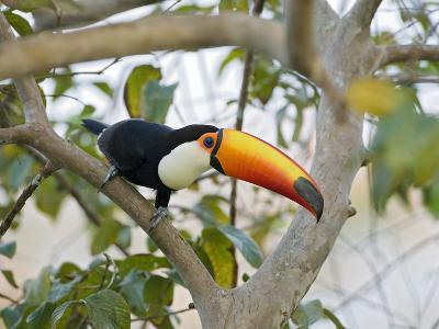 Toco Toucan (Ramphastos Toco), Pantanal, Brazil-Suzi Eszterhas/Minden Pictures-Photographic Print
