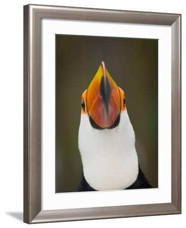 Toco Toucan (Ramphastos Toco) Portrait, Pantanal Brazil-Wim van den Heever-Framed Photographic Print