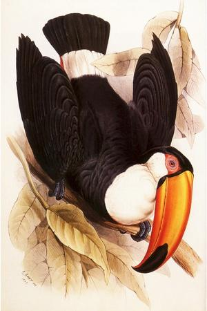 https://imgc.artprintimages.com/img/print/toco-toucan-ramphastos-toco_u-l-q1bvjvw0.jpg?p=0