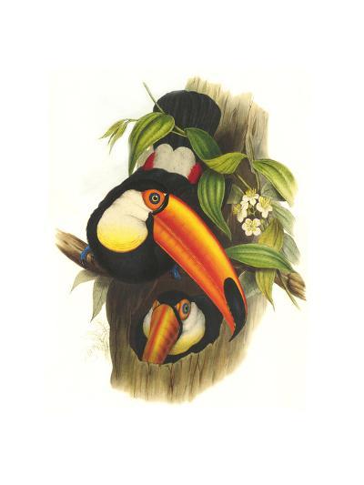 Toco Toucan-John Gould-Art Print