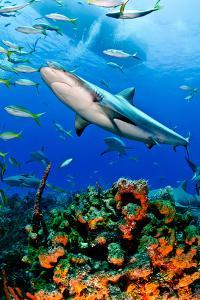 Caribbean Reef Shark and Reef, Carcharhinus Perezi by Todd Bretl Photography