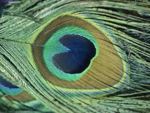 A Close-up of a Peacock Feather by Todd Gipstein