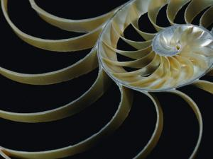 A Close-up of the Cross-Section of a Chambered Nautilus Shell by Todd Gipstein