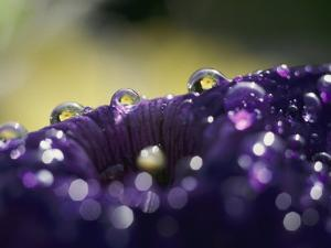 A Close-up of Water Droplets on a Purple Flower by Todd Gipstein