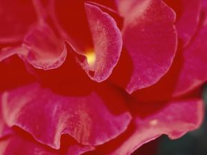 A Close View of a Rose by Todd Gipstein