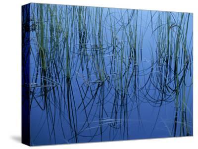 Aquatic Grasses Reflected in a Still Lake