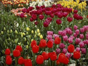 Brilliant Array of Various Tulips in a Garden by Todd Gipstein