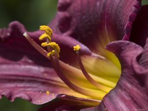 Close-Up of a Purple and Yellow Daylily, Groton, Connecticut by Todd Gipstein