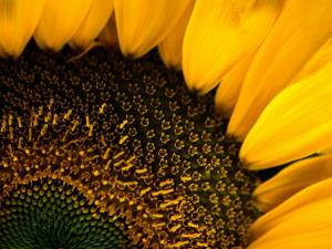 Close-up of a Sunflower by Todd Gipstein