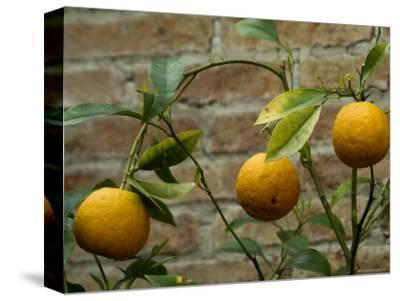 Close-Up of Lemons Growing on a Tree, Asolo, Italy
