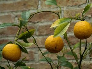 Close-Up of Lemons Growing on a Tree, Asolo, Italy by Todd Gipstein