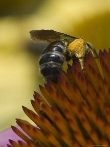 Close View of a Bee Collecting Pollen from a Flower, Groton, Connecticut by Todd Gipstein