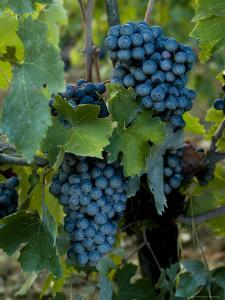 Close View of Chianti Grapes Growing on a Vine in Tuscany, Italy by Todd Gipstein
