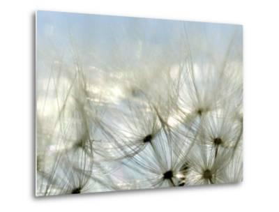 Close View of Dandelion Seeds, Groton, Connecticut