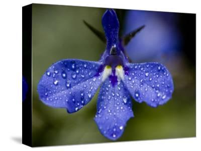 Close View of Droplets of Water on a Blue Flower, Groton, Connecticut