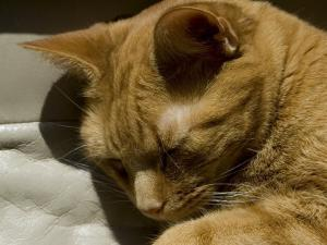 Close View of Orange Tabby Cat Sleeping, Groton, Connecticut by Todd Gipstein