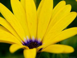 Close View of Osteospermum Hybrid, Groton, Connecticut by Todd Gipstein