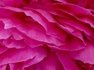 Close View of Petals of a Peony Flower, Groton, Connecticut by Todd Gipstein