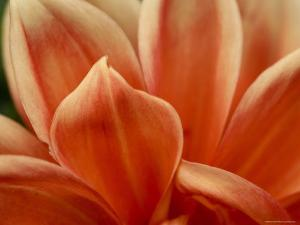 Close View of Petals of an Orange Flower, Groton, Connecticut by Todd Gipstein