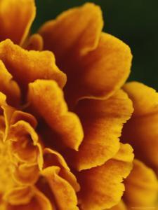Detail of the Petals of an Orange Flower by Todd Gipstein