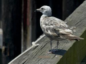 Lone Seagull Standing on Wood Rail of a Pier by Todd Gipstein