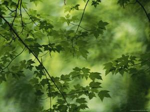 Maple Tree Branch with Spring Foliage by Todd Gipstein