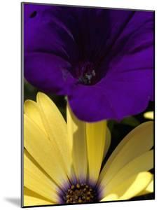 Purple Petunia and Yellow Osteospermum Sitting Side by Side, Groton, Connecticut by Todd Gipstein