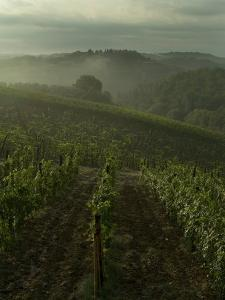 Vineyards Along the Chianti Hillside Through the Fog, Tuscany, Italy by Todd Gipstein
