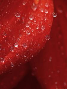 Water Droplets on a Red Flower Pedal, Groton, Connecticut by Todd Gipstein