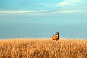 A Mule Deer Buck Stands in a Tall Bed of Grass and Looks into the Autumn Sun on the Great Plains. by Todd Klassy