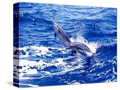 Leaping Clymene Dolphins, Gulf of Mexico, Atlantic Ocean