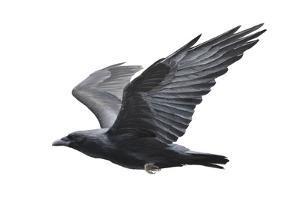 Raven by Todd Telander
