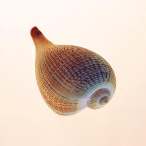 Fig Shell by Tom Artin