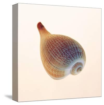 Fig Shell