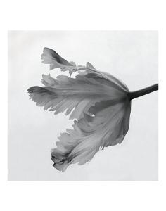 Parrot Tulip II by Tom Artin