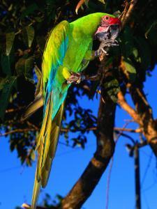 Great Green Macaw at Tilijari, Costa Rica by Tom Boyden