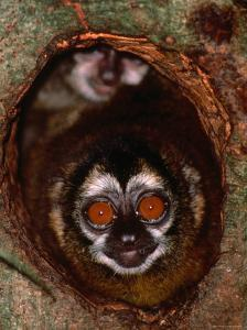 Nocturnal Nightowl Monkey, Which Ranges in the Wild Throughout Central and South America by Tom Boyden