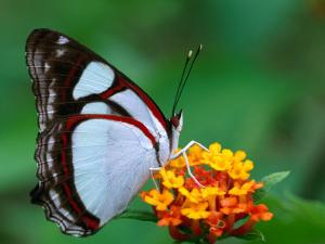 Nymphalid Butterfly, Native to the Rainforests of Costa Rica by Tom Boyden