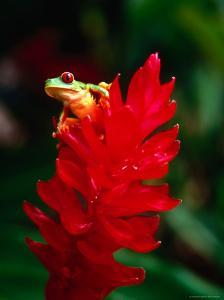 Red-Eyed Tree Frog by Tom Boyden